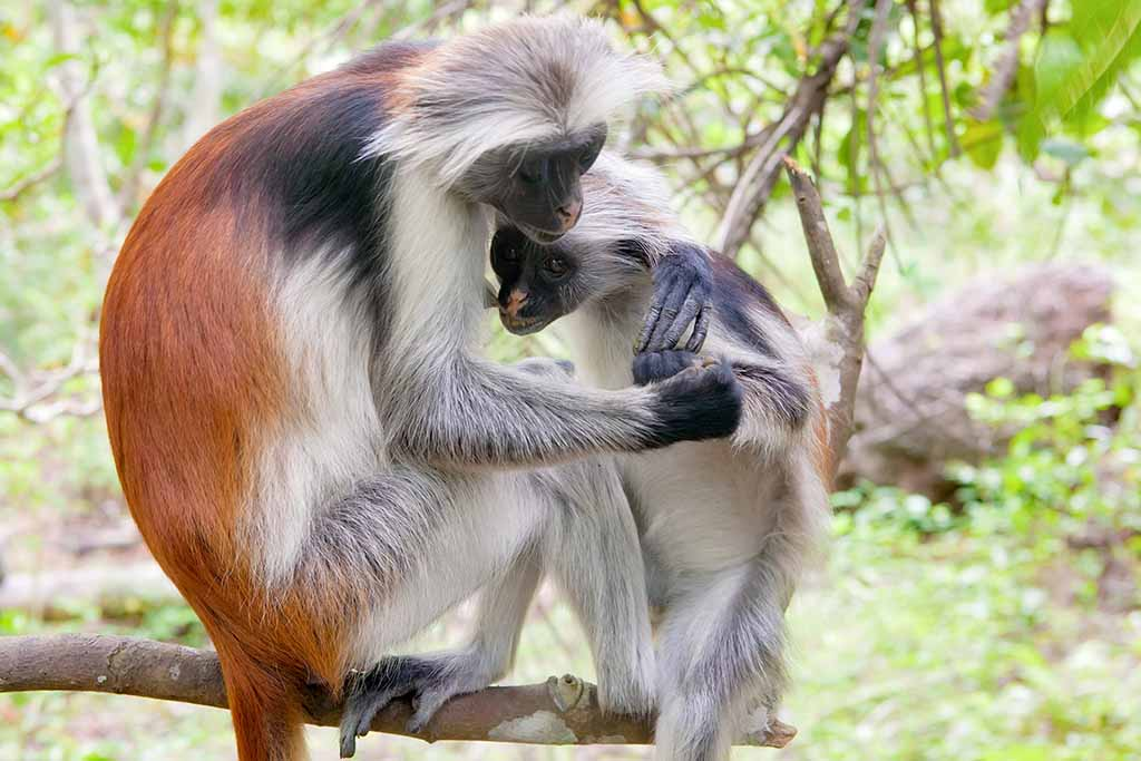 red-colobus-wolfare
