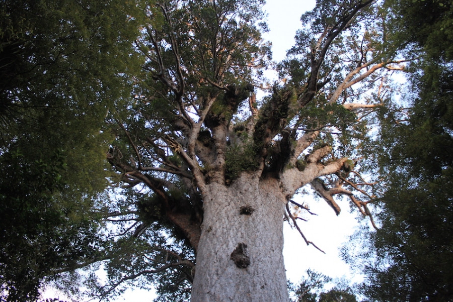 Tane Mahuta- Lord of the  forest